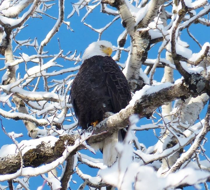 Eagle in Snow on Tree by Candy Moot