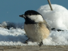 2011 Dec. 24 Chickadee by Candy Moot