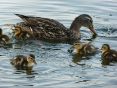 Mama Mallard and babies 2012 July 14 by Candy Moot