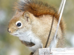 Red Squirrel 2014 March 24 by Candy Moot