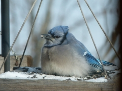 blue jay staying well fed by Candy Moot.JPG