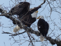 eagles, she's leaving by Candy Moot.jpg