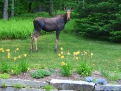 moose on lawn.jpg