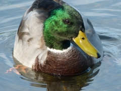 Male Mallard 2013 October 10 by Candy Moot