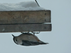 Nuthatch by Candy Moot