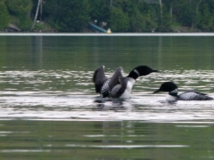 Loon dance 2014 May 26 006 by Candy Moot.JPG