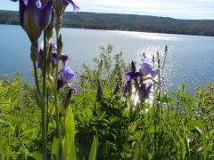 buffer zone iris by Candy Moot.JPG