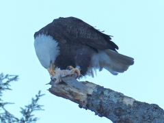 Eagle eating fish by Candy Moot.jpg