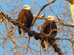 Eagles in the autumn by Candy Moot.JPG
