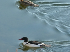 common mergansers by Candy Moot.JPG